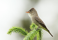 A male olive-sided flycatcher calls from he top of a Douglas fir tree.<br />