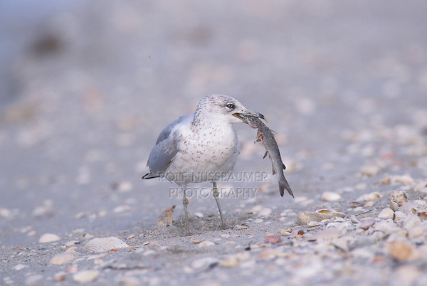 Ring-billed Gull, Larus delawarensis, immature eating fish, Sanibel Island, Florida, USA, Dezember 1998