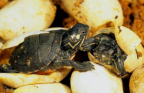 1R13-047z  Painted Turtle - hatching from eggs in sand - Chrysemys picta