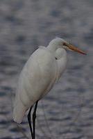 Great Egret on a winter day