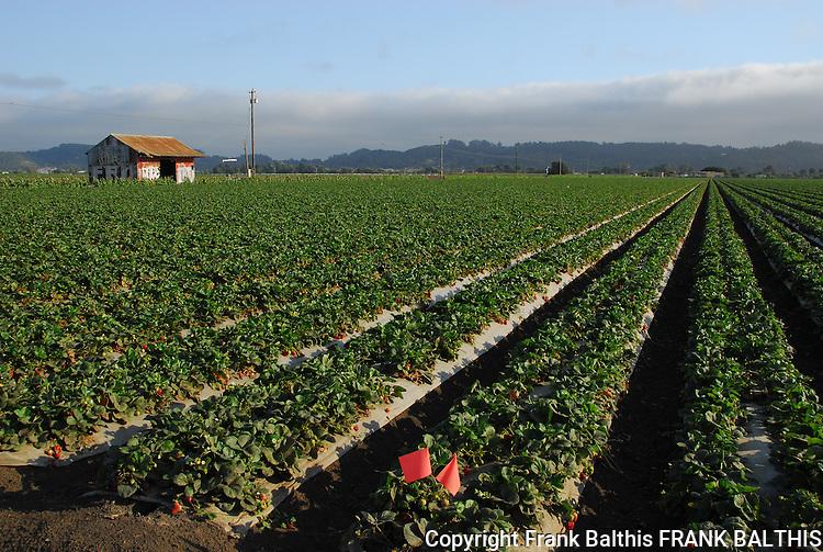 Strawberry field in Watsonville