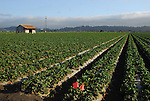 Strawberry field in Watsonville