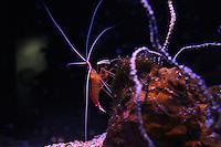 A Shrimp at the Maui Ocean Center