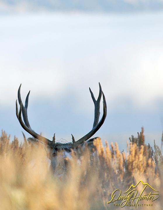 Big Trophy Nontypical Buck Mule Deer, Jackson Hole, Wyoming
