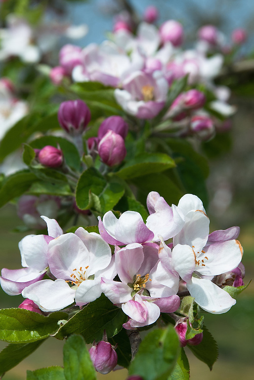 Blossom of Apple 'Fortosh', late April. A Canadian dessert apple, first introduced in 1926.