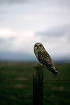 Short-eared Owl perched on a fence post.