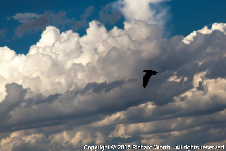 A raptor in flight with a background of clouds.