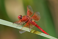 389310002 a wild male flame skimmer libellula saturata perches on a cattail reed along piru creek los angeles county california united states