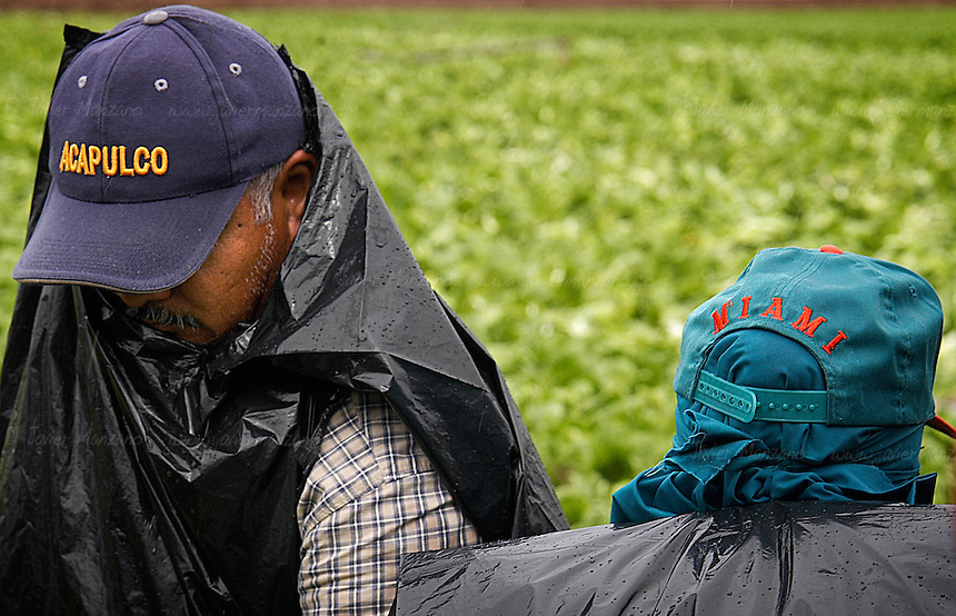 A group of legal immigrants work the lettuce fields of YUMA, AZ.
