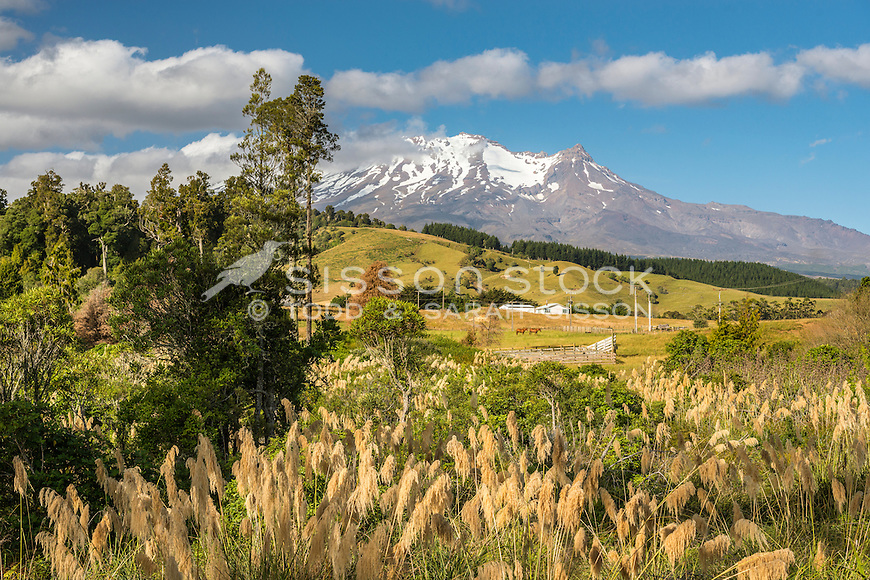 Sheep grazing on farmland near Oakune, with Mount Ruapehu seen behind, New Zealand - stock photo, canvas, fine art print