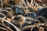A nest of napping Nutrias