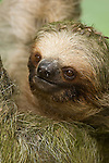 Hoffmann's Two-Toed Sloth (Choloepus hoffmanni), Costa Rica.