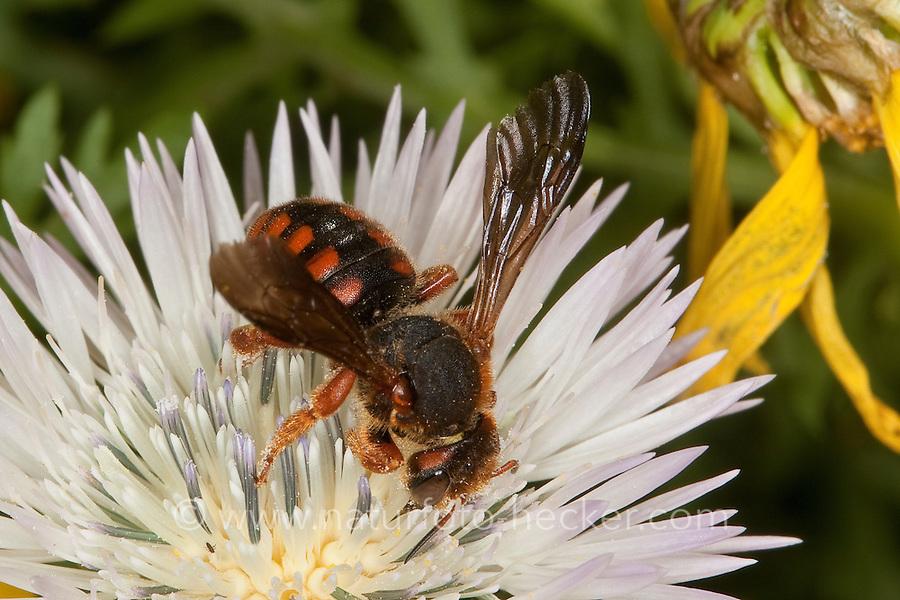 Wollbiene, Harzbiene, Blütenbesuch, Nektarsuche, Bestäubung, Rhodanthidium siculum, Anthidium siculum, wool carder bee, Wollbienen, Harzbienen, wool carder bees, Sizilien, Italien