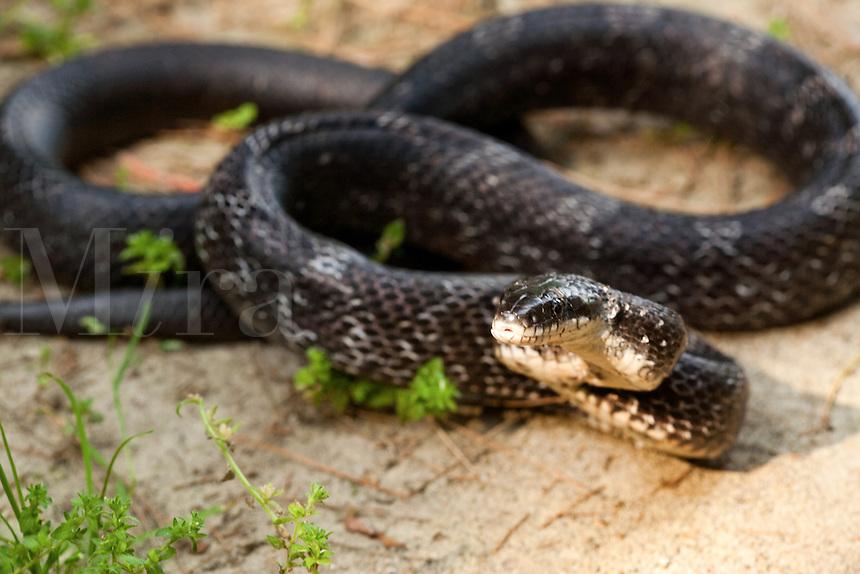 Black Rat Snake curled up on sandy ground