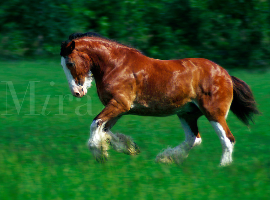 A Clydesdale stallion cavorts in green paddock. horse, horses, equine, animals. #847 HR Clydesdale.