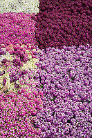 Colorful mix of Alyssum 'Allure' flowers in block pattern display at Kieft Seeds for California Pack Trials