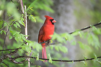 northern cardinal, Cardinalis cardinalis, male, perched in tree, Florida, USA