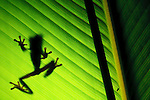 Red-eyed Tree Frog silhouette through a leaf (Agalychnis callidryas), Costa Rica