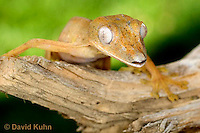0501-0819  Lined Leaf-tailed Gecko, Uroplatus lineatus © David Kuhn/Dwight Kuhn Photography