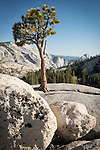 Jeffery pine, glacial erratics, Half Dome, Olmsted Point, Yosemite-Tioga Pass Highway