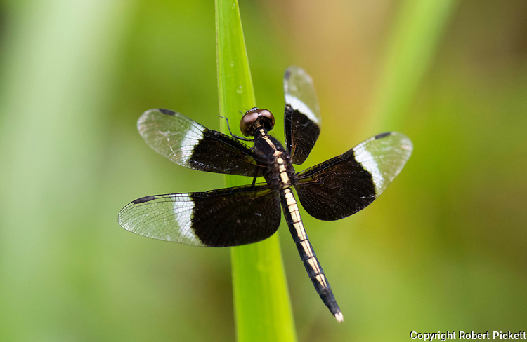 Pied Parasol Dragonfly, Neurothemis tullia, Ramsar Wetland, Sri Lanka, perched on leaf