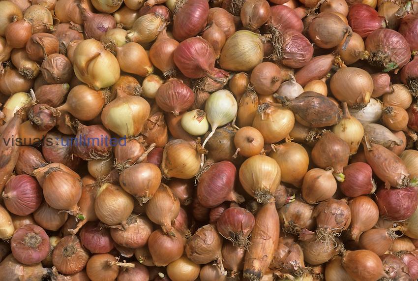 Onion harvest (Allium cepa)....