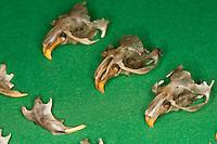 Untersuchung von einem Gewölle einer Eule, Schleiereule, Speiballen, Schädel als unverdauliche Nahrungsreste, die unverdauten Knochen als Nahrungsreste wurden aus einem Geölle heraus sortiert, Schleiereule hat eine Maus gefressen