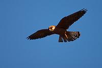 Female Red-footed Falcon in flight, Bagerova Steppe, Kerch Peninsula, Crimea, Ukraine