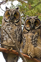 Long-eared Owlets, Oregon
