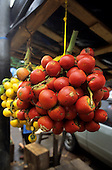 Amazonia, Brazil. Pupunha palm fruit (Bactris minor) Peach Palm hanging in a bunch.