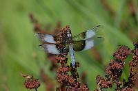 Male Widow Skimmer (Libellula luctuosa) Pacific Northwest wetland.