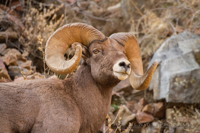 Bighorn Sheep ram closeup