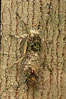 Katydid; camouflaged on bark; Indonesia, Borneo, W. Kalimantan, Bentuang-Karimun National Park