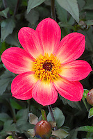 Dahlia (Happy Single Series) 'Flame'