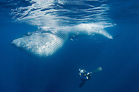 underwater photographer Brandon Cole photographs a Bryde's whale, Balaenoptera brydei or Balaenoptera edeni, feeding on baitball of sardines, with throat pleats expanded, off Baja California, Mexico ( Eastern Pacific Ocean ) #6 in sequence of 6