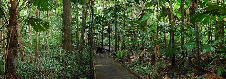 Licuala palm rainforest boardwalk in Daintree National Park.  Cape Tribulation, Queensland, AUSTRALIA