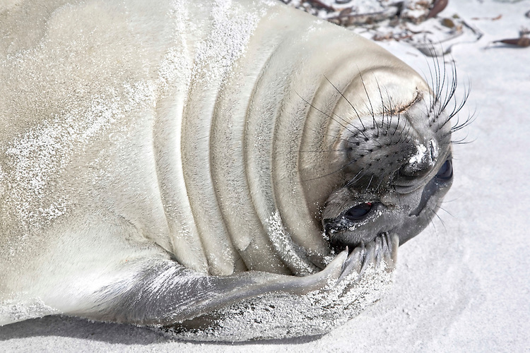 Southern Elephant Seal - Mirounga leonina - pup. Length 2-3m, weight 400-850kg Massive seal. Male is up to four times larger than female, with distinctive proboscis. Breeds on Sub-Antarctic islands, notably South Georgia.