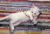 White furry kitten playing on rag run with a peice of red yarn