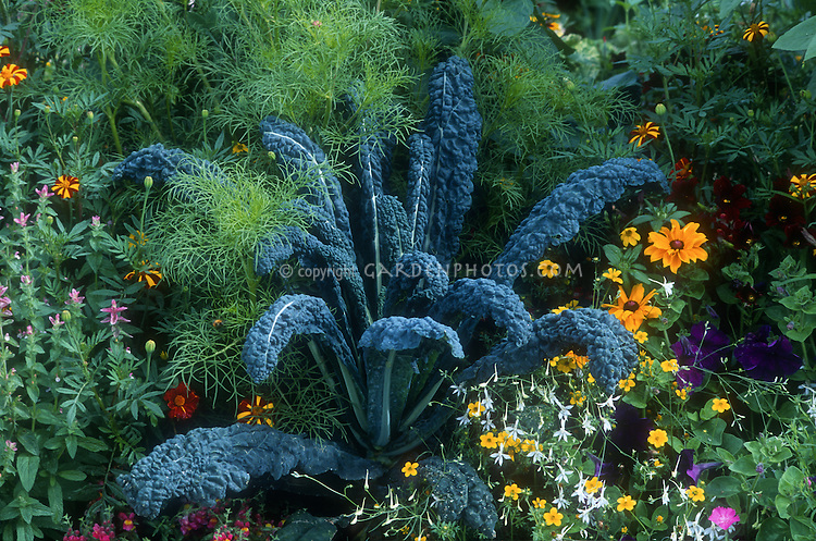 Kale Lacinato dinosaur Italian Brassica Tuscan kale with cosmos foliage, Rudbeckia, Nicotiana flowering tobacco, Victorian marigold Tagetes, petunia, annual flowers growing together with vegetable