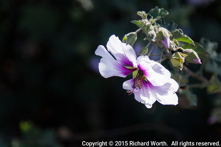 A white and purple blossom with a diligent bee hard at work.  Flowering tree at the entrance to Oyster Bay Regional Shoreline, San Leandro, California.