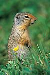 Columbia Ground Squirrel (Spermophilus columbianus), Banff NP, Alberta, Canada