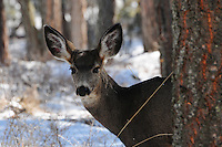 Mule deer standing behind a  fir tree in winter.
