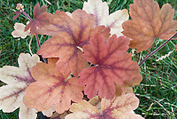 Foliage Plant Heucherella Sweet Tea
