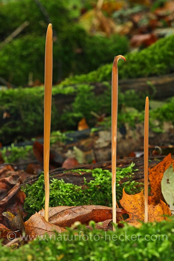 Röhrige Keule, Stumpfe Röhrenkeule, Hohe Röhrenkeule, Macrotyphula fistulosa, Pipe Club fungus