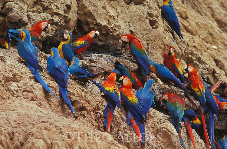 Peru, Tambopata River, Scarlet Macaws and Blue and Yellow Macaws at clay lick