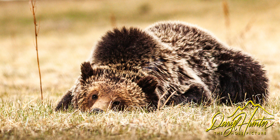 Snoozing Grizzly Bear, Yellowstone National Park