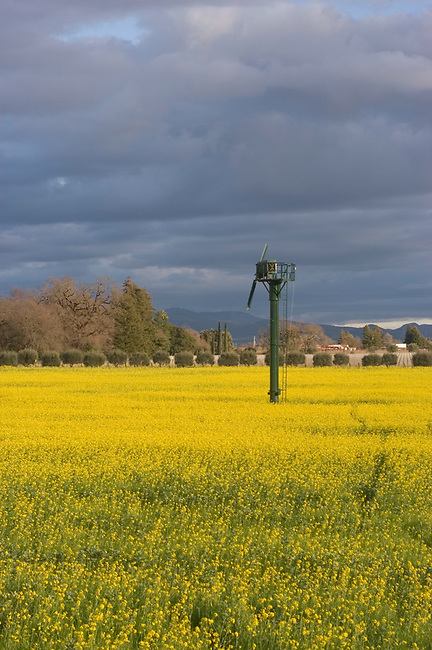 Mustard blooms in spring in napa Valley