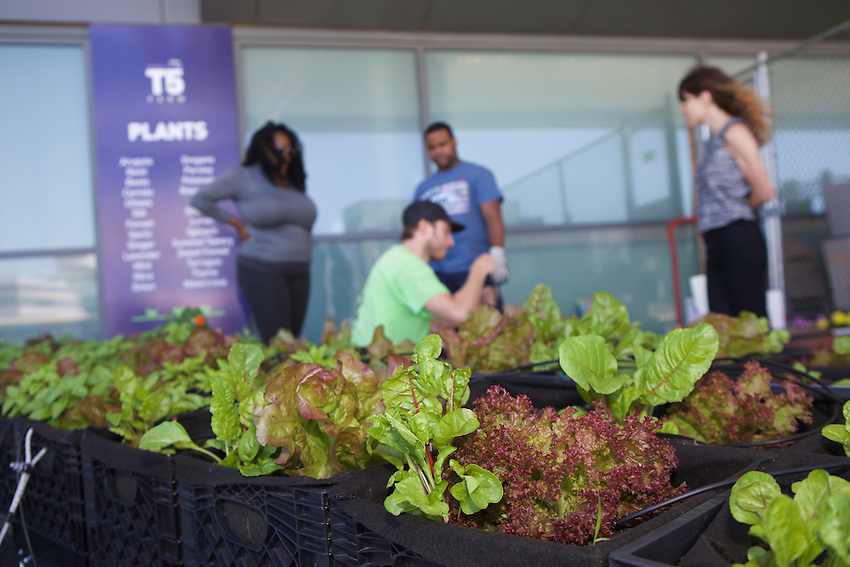 Queens, NY - June 10, 2016: Jetblue employees volunteer to build out irrigation and plant flowers at the T5 Farm at John F Kennedy Airport.<br /> <br /> CREDIT: Clay Williams for Edible Queens.<br /> <br /> &copy; Clay Williams / claywilliamsphoto.com