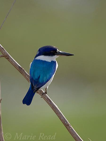 Forest Kingfisher (Todiramphus macleayii), Fogg Dam, Northern Territory, Australia