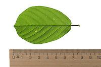 Faulbaum, Gewöhnlicher Faulbaum, Frangula alnus, Rhamnus frangula, Alder Buckthorn, Common Buckthorn, La Bourdaine, Bourgène. Blatt, Blätter, leaf, leaves